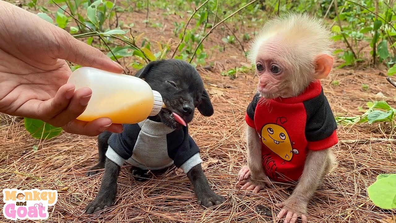 Teach baby monkey and puppies how to drink milk from bottle