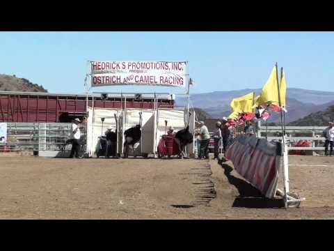 Ostrich Chariot Race Virginia City