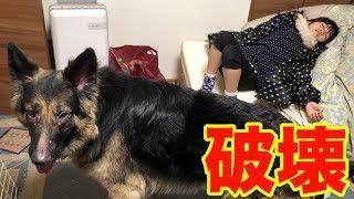 grandchild and #GermanShepherd#シェパード #子供と大型犬 ジャーマン...