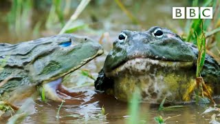 African GIANT bullfrogs battle for a mate | The Mating Game – BBC
