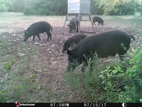How I Hunt Hogs: Tips & Tricks