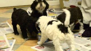 Spanish Water Dog Puppies - 6 weeks old
