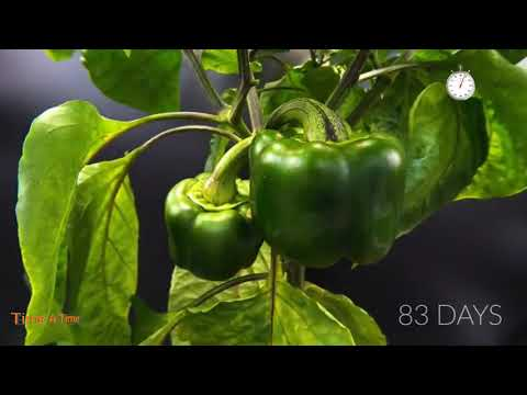 growing bell pepper at home
