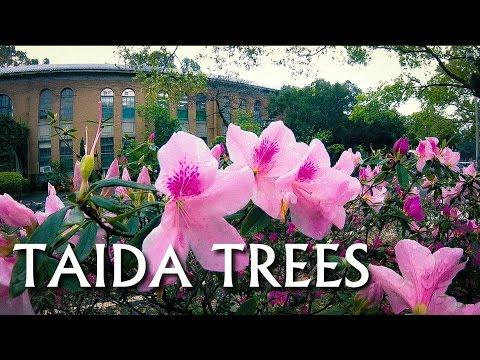 {Taipei Trees} Taiwan Travel -- TAIWAN UNIVERSITY Campus Trees  (台大樹木)