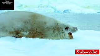 Penguin vs Leopard Seal-National Geographic Wild Animals Fights Documentary