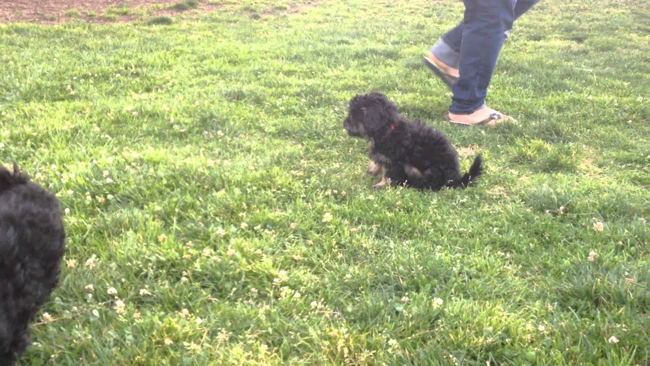 lhasa apso puppies youtube