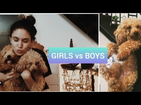 SECRETS YOU SHOULD KNOW |between girl and boy dogs |Poodles