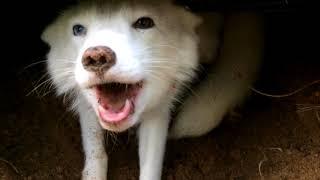 Песец устроил раскопки ( arctic fox) 🐺