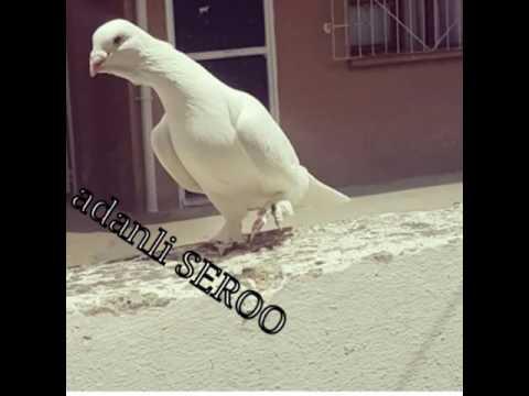 Adana Yerli Beyaz Güvercinler