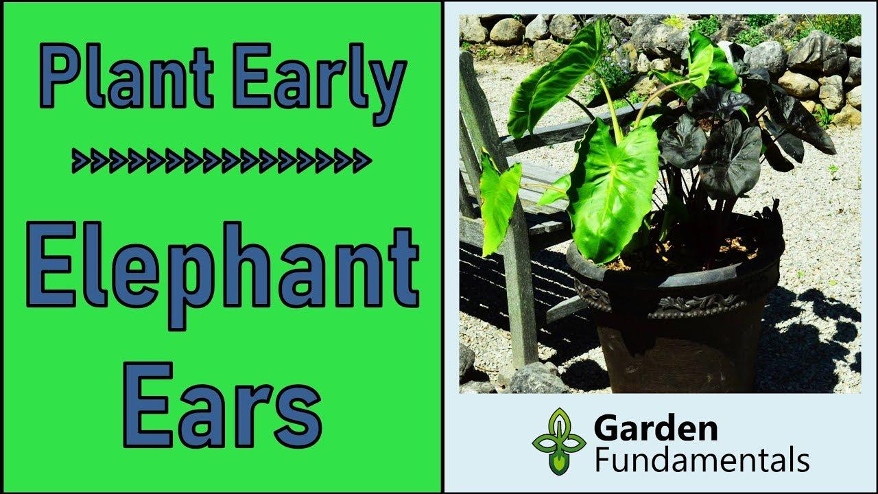 How To Plant Elephant Ear Bulbs Start Colocasia Esculenta