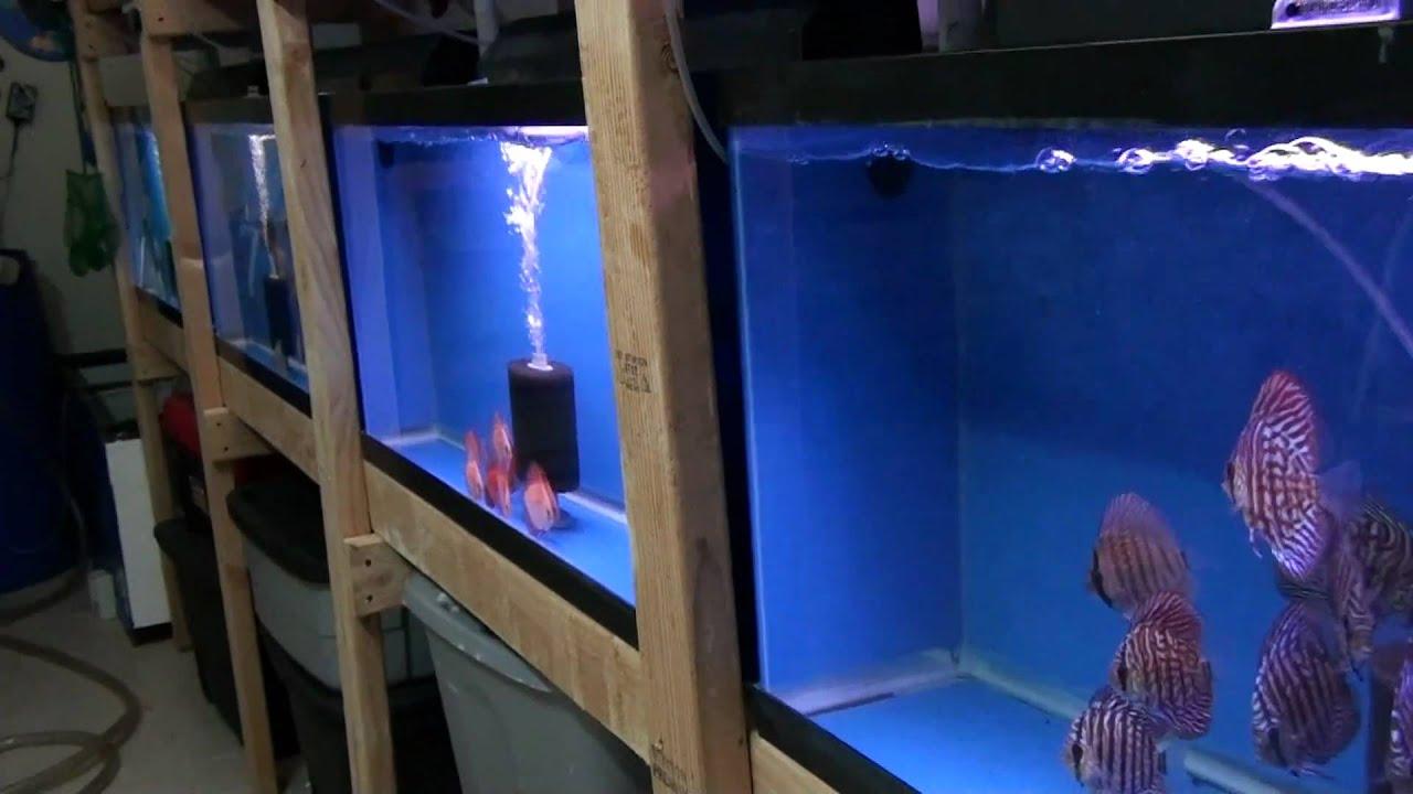 discus fish ny farm   YouTube