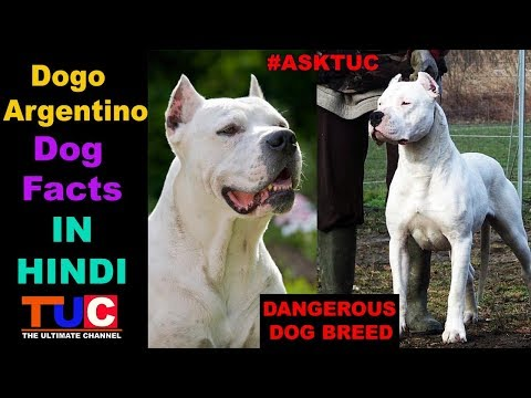 Dogo Argentino Dog Facts In Hindi : Popular Dogs : TUC : The Ultimate Channel
