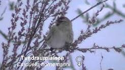 Tundraurpiainen talvella (Carduelis hornemanni)
