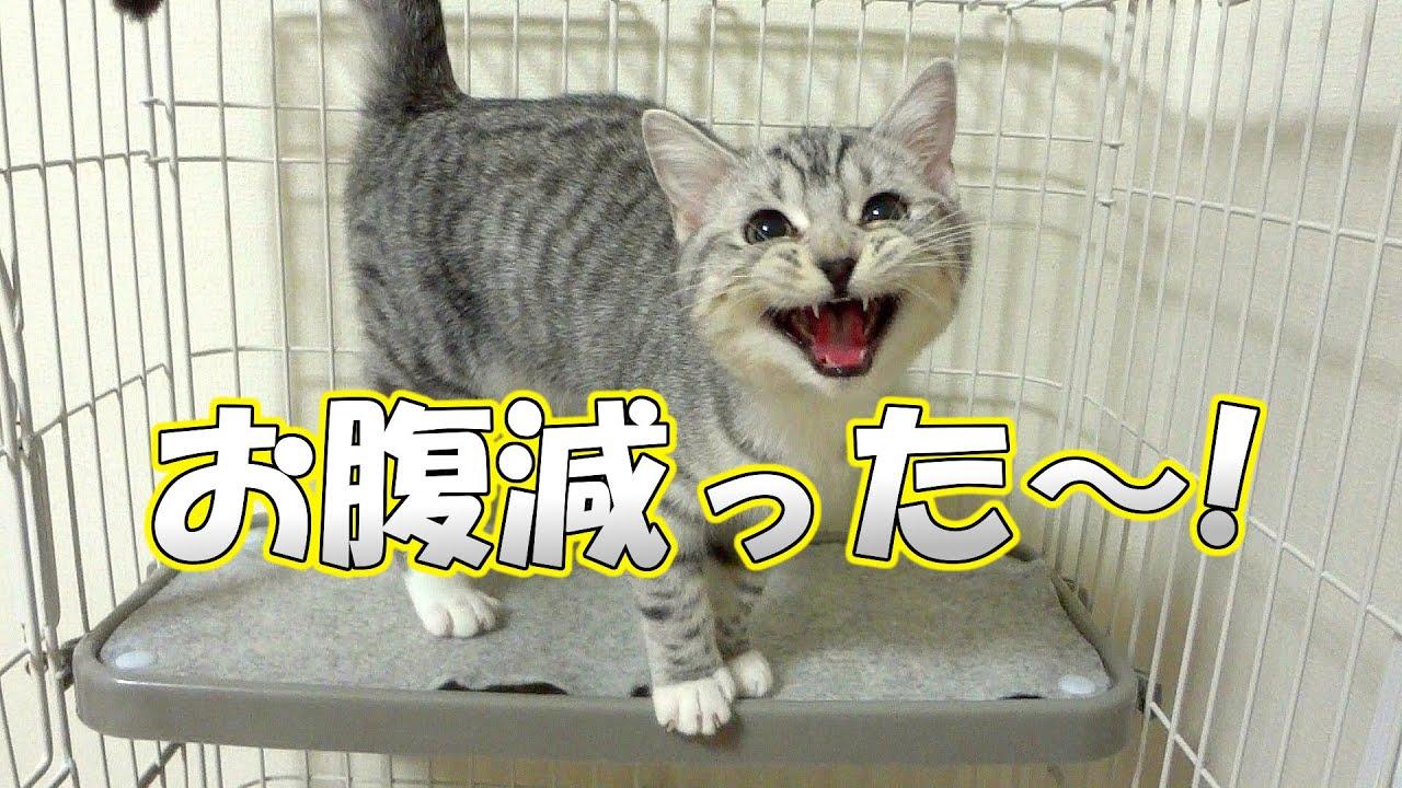 子猫 鳴き声】子猫がかわいい鳴...