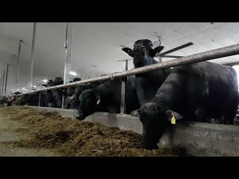 Milking A Water Buffalo - Dinner Starts Here (Farm 16)