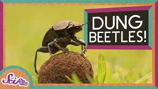 Dung Beetles and Their Big Balls of Poop!