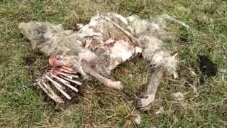 В Башкирии собаки перегрызли овец .