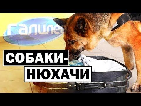 видео: Галилео | Собаки-нюхачи  [Sniffer dogs]