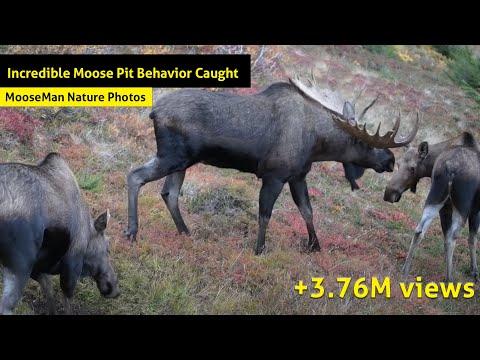 Incredible Moose Rut Pit Behavior