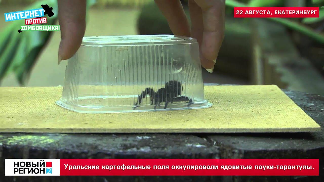 Уральские поля оккупировали пауки тарантулы