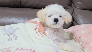 Cute puppy who can't get up on the electric pad | Maltipoo Bell