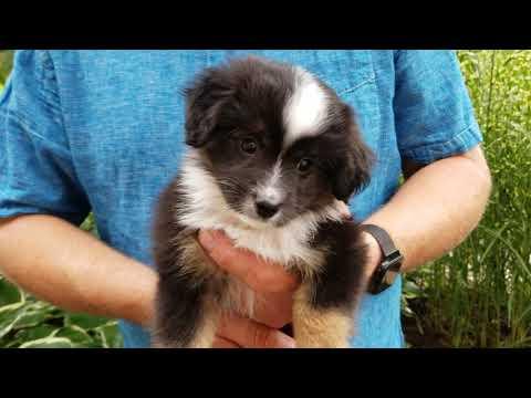 Toy Australian Shepherd Puppy Finn