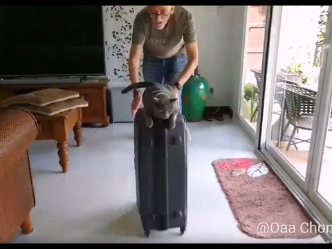 Tiki enjoying suitcase ride, funny cat loves riding. Funny Korat Cat.