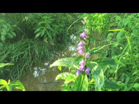 Pukeweed: Lobelia (Indian Tobacco) for depression, dementia, asthma, addictions