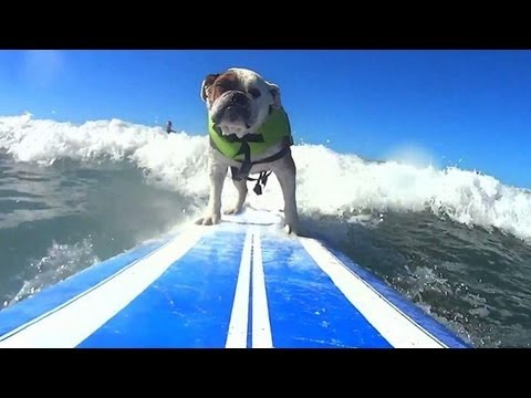 Dog surfers battle it out on California waves