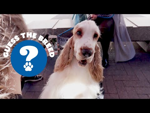 Guess the Breed - English Cocker Spaniel