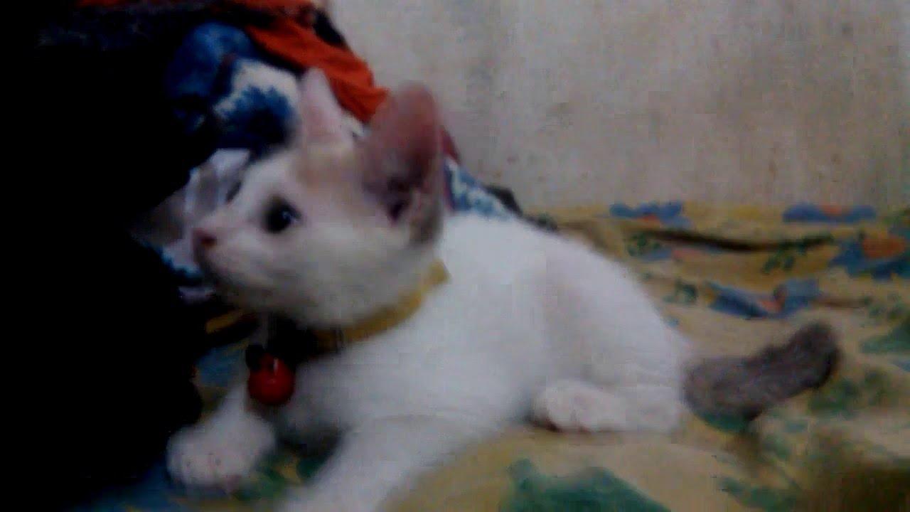 Download 95+  Gambar Kucing Anggora Mix Kampung Imut Gratis