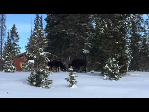 4 Bull Moose At Snow Mountain Ranch, CO