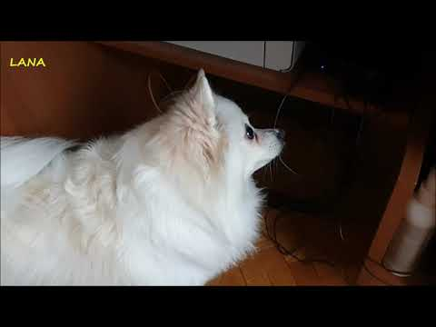 FUNNY REACTION OF GERMAN SPITZ WHEN SHE HEARS PUPPIES YELLING......ON PC!