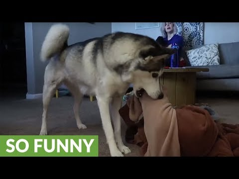 Husky rescues dog trapped in owner's pajamas