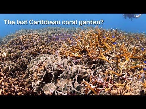 The last Caribbean coral garden?