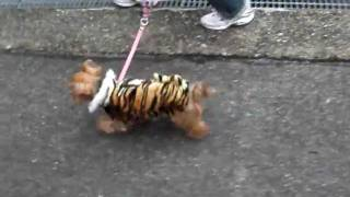 i took my dog for a walk. she wore the costume of a tiger. 愛犬が虎...