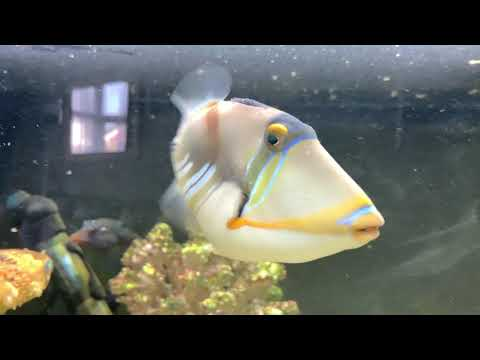 Greedy Picasso Trigger Fish