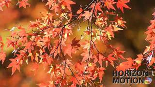 FULL HD 1080P 美的因 日本 楓葉 楓紅 詩意 情境 Red maple leaves aq0000002
