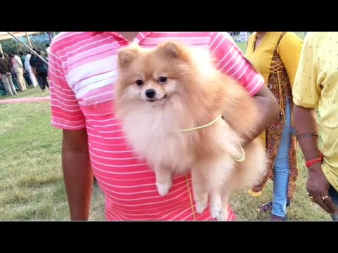 Little Pomrenian DogS Are Ready For Kolkata Dog Show