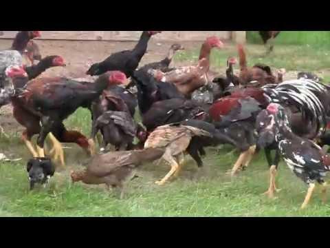 Hmong American Raise Chicken 2016 Part 3