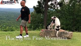 "6 Month Old Bull Arab ""Gunner"" Before/After Video  