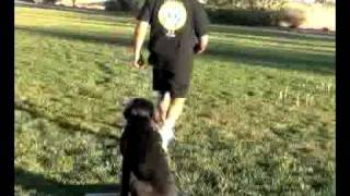 Teaching A Young Labrador Retriever To Be Steady To A Duck Call