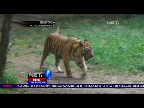 Teror Harimau Selimuti Dusun Kuala Indah - NET10
