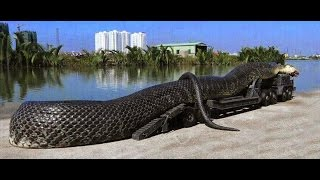 ANACONDA QUEEN SNAKE  - The 2 World's Biggest Python Snakes Found in Amazon River