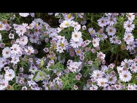 цветы дубки и хризантемы фото