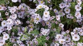 Дубок осенний==завершает цветение цветов