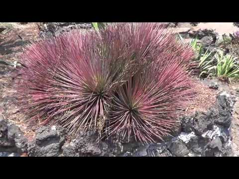AGAVE GALLERY:  Agave stricta  color change
