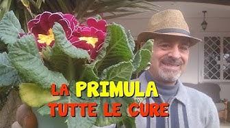 LA PRIMULA E LE CURE
