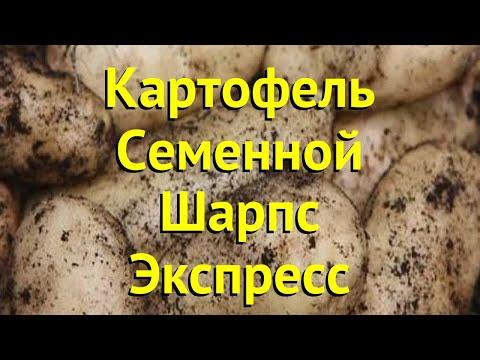 Картофель семенной. Краткий обзор, описание характеристик, где купить картофель Шарпс Экспресс