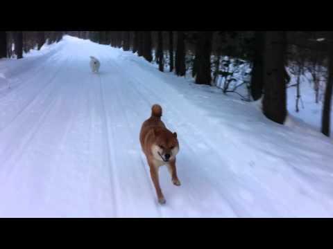 Shiba Inu running with snowmobile
